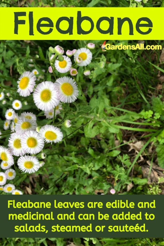 Daisy Fleabane leaves are edible and medicinal and can be added to salads, steamed or sautéed. #DaisyFleabane #ErigeronAnnus #MedicinalWeeds #MedicinalHerbsAndTheirUses #NaturalMedicine