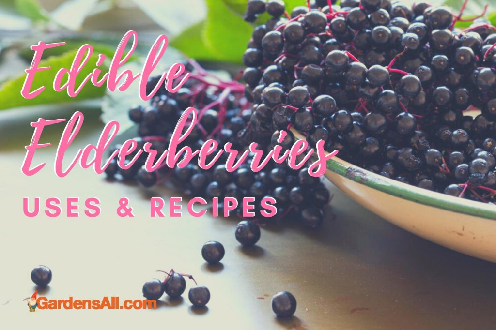 Elderberry plants are both ornamental and functional. The Sambucus Canadensis and Sambucus Nigra species of elderberry, are well known for their immunity boosting properties, however, they have other traditional uses as well. #Elderberry #ElderberriesSyrup #ElderberriesBenefits  #PurpleElderberries #FreshPickedElderberry #NaturalImmunityBooster #NaturalHealth #Immunity #Elderberries #Superfoods #Antioxidant #HealthyFood #HealthFoodRecipes #Baked #Recipes