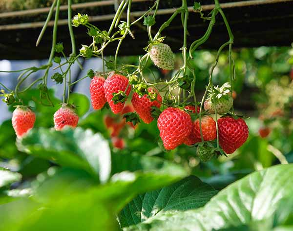 How long does it take for strawberries to grow? #GrowingStrawberries #HowToGrowStrawberries #WhenToHarvestStrawberries