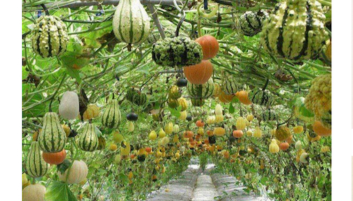 Beautiful gourd tunnel garden using cattle panel wire grids. #GourdTunnel #CattlePanelGarden #VerticalGarden #GourdArch