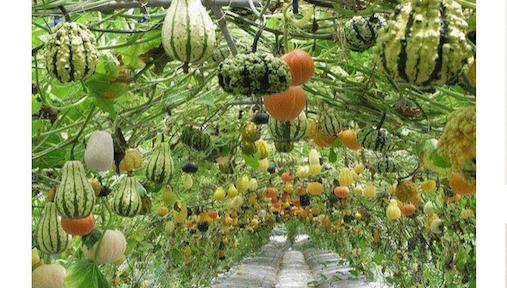 Beautiful gourd tunnel garden using cattle panel wire grids. #GourdTunnel #CattlePanelGarden #VerticalGarden #GourdArch