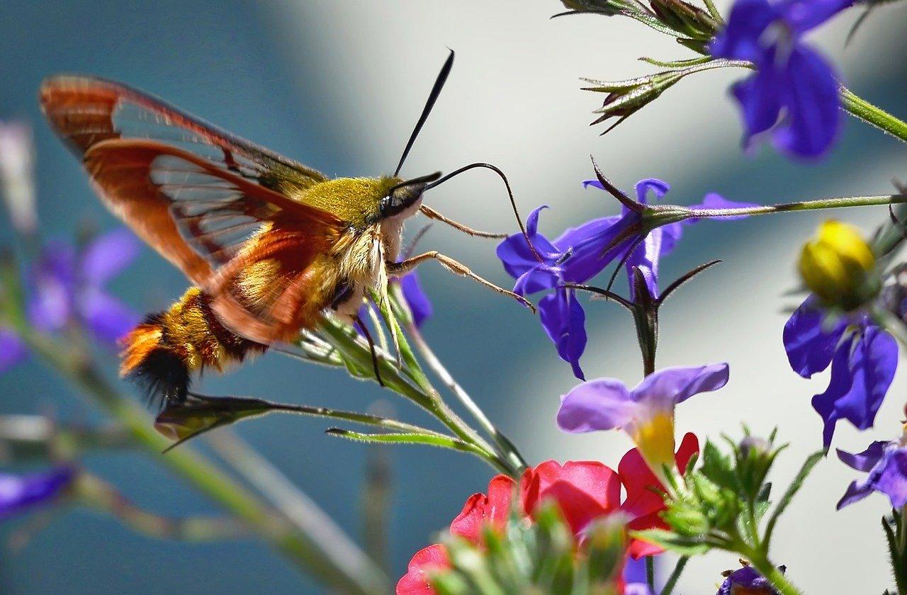 Hummingbird Moth - a lovely garden pollinator. #HummingbirdMoth #GoodPollinators #GardenFriendlies #BeneficialInsects