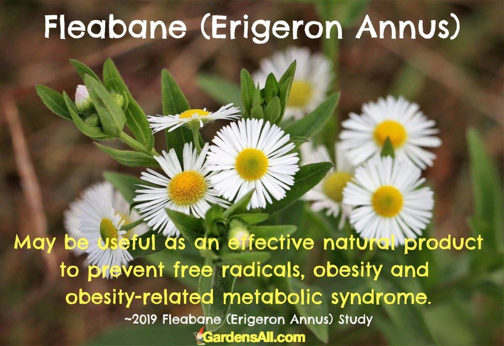 Fleabane - Erigeron Annus - may be useful as an effective natural way to prevent free radicals, obesity and related metabolic syndrome. #DaisyFleabane #ErigeronAnnus #MedicinalWeeds #MedicinalHerbsAndTheirUses #NaturalMedicine