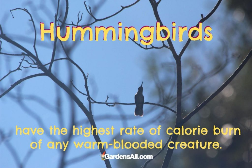 """""""Hummingbirds have the highest rate of calorie burn of any other warm-blooded creature."""" #Hummingbirds #HummingbirdsFood #HummingbirdsFeeders #FoodRecipes #HowToAttract #NaturalGardenPestControl #PestControl"""