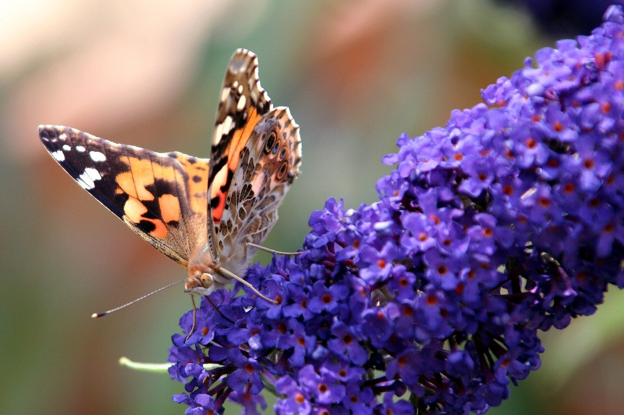Purple butterfly bush, Buddleja davidii, are great garden and landscape plants for attracting a kaleidoscope of butterflies and other pollinators to your yard and garden landscape. #ButterflyBushVarieties #ButterflyBush #AttractButterflies #ButterflyPlants #FragrantBushes