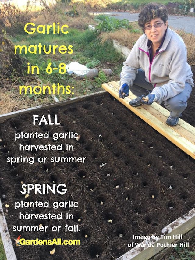 Fall is the best time to plant garlic. #PlantingGarlic #WhenToPlantGarlic #FallCrops #FallGardening #WhatToPlantInFall #Gardening #VegetableGardening