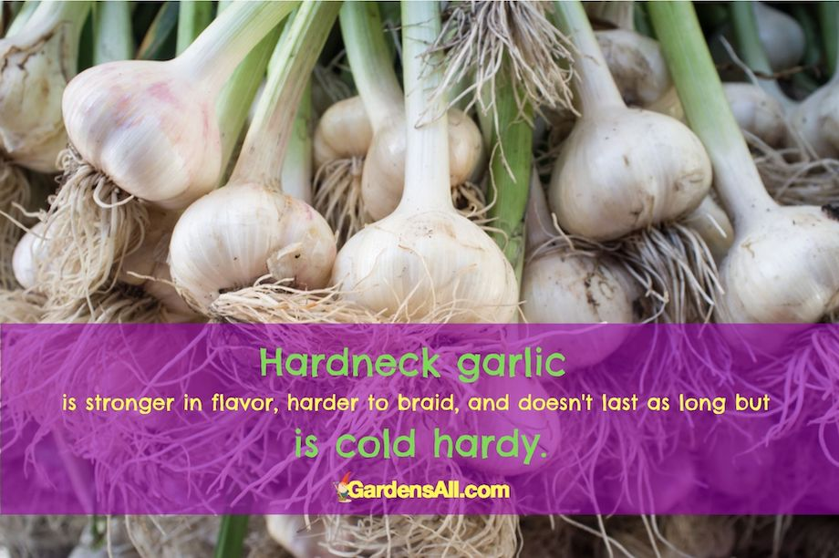 Hardneck Garlic has stronger flavor and is cold hardy. #GarlicVarieties #GrowingGarlic #HardneckGarlic #ColdHardyGarlic #StrongGarlic #GardensAll