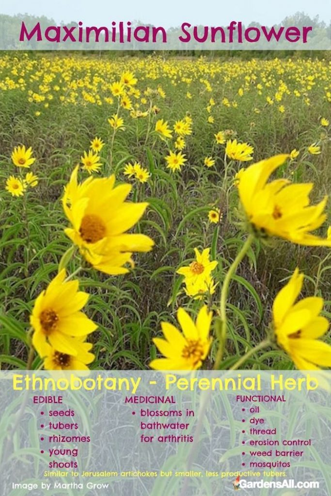 Maximilian's Sunflower - Edible, Medicinal, Functional Benefits. #MaximilianSunflower #HelianthusMaximiliani #Sunflower #YellowWildflower #ErosionControl #EdibleWeeds