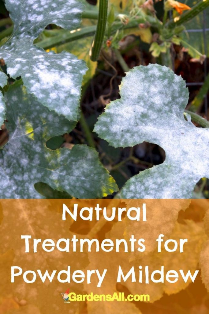 Treat Powdery Mildew on plants with simple, natural home remedies. #GetRidOfPowderyMildew #PowderyMildewTreatment #TreatmentForPowderyMildew #WhitePowderOnPlants #NaturalFungicide #WhiteFungus
