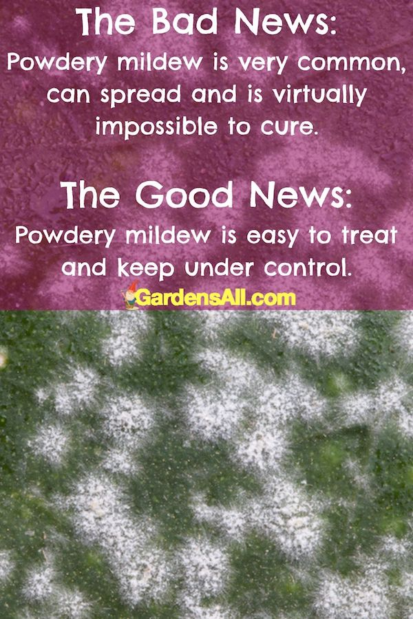 Powdery mildew on plants is treatable with simple, natural home remedies. #HowToTreatPowderyMildew #PowderyMildewTreatment #TreatmentForPowderyMildew #WhitePowderOnPlants #NaturalFungicide #WhiteFungus #HowToGetRidOfPowderyMildew