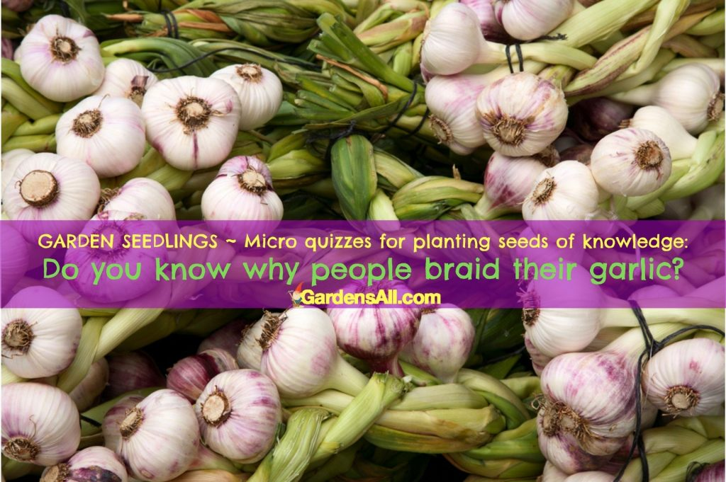 GARDEN QUIZ: Why do people braid garlic? #SoftNeckGarlic #TypesOfGarlic #WhyBraidGarlic #BraidGarlic #GardensAll #GardenQuiz