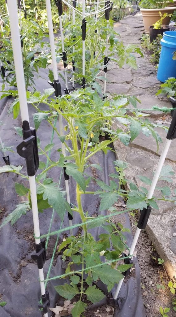 """""""First round of twine on what I call horse fencing posts."""" - Image by Deb Duvall #DIYtomatoSupport #TomatoSupport #SupportTomatoes #GrowingTomatoes #WireTrellis #HomemadeTomatoTrellis #BambooTomatoSupport #GardensAll"""