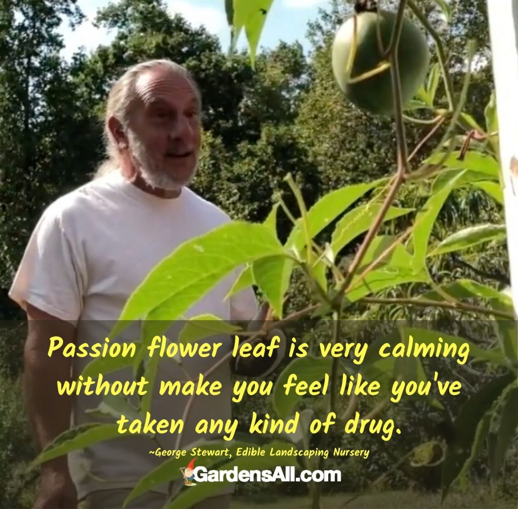 Passion flower leaf is very calming without make you feel like you've taken any kind of drug. #PassionFlowerBenefits #PassionFlower #PassionFlowerLeaf #PassionFlowerMedicinal