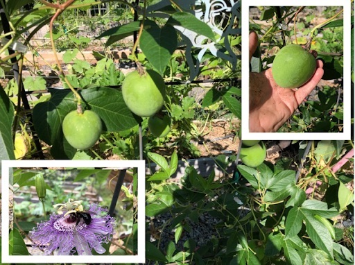 Passion fruit plant, fruit and flower - beautiful and medicinal! #PassionFlower #PassionFruit #PassionFruitLeaves #GardensllAll #iCreateDaily
