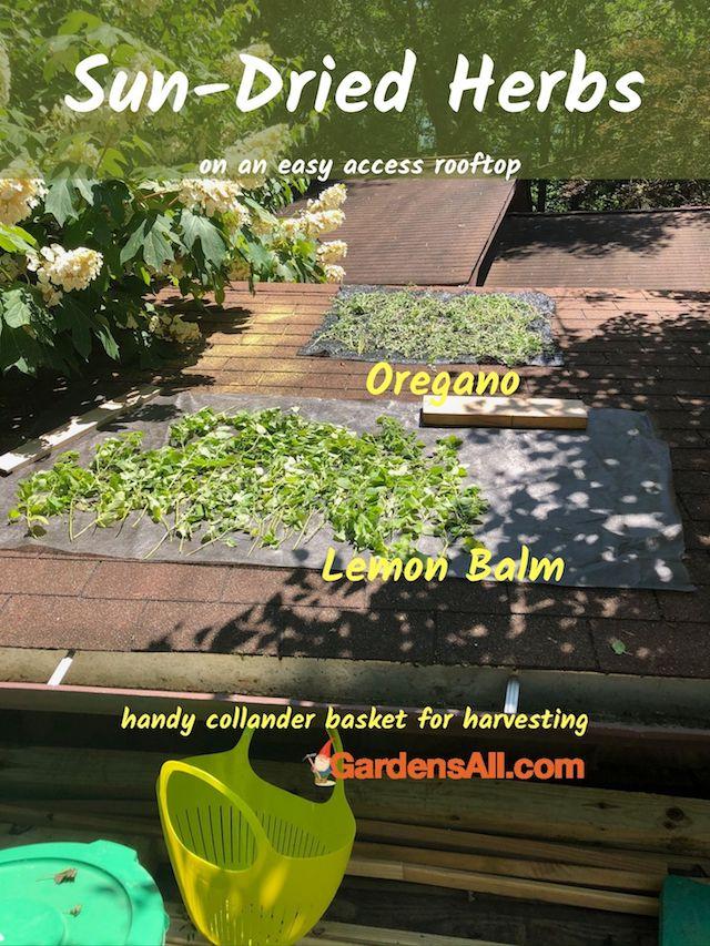 How to Dry Herbs - How to Dry Lemon Balm - Sun Dried Herbs #GrowingLemonBalm #MintPlant #LemonBalmBenefits #LemonBalmUses #LemonBalmMedicinal #BeneficialHerbs #SundriedHerbs