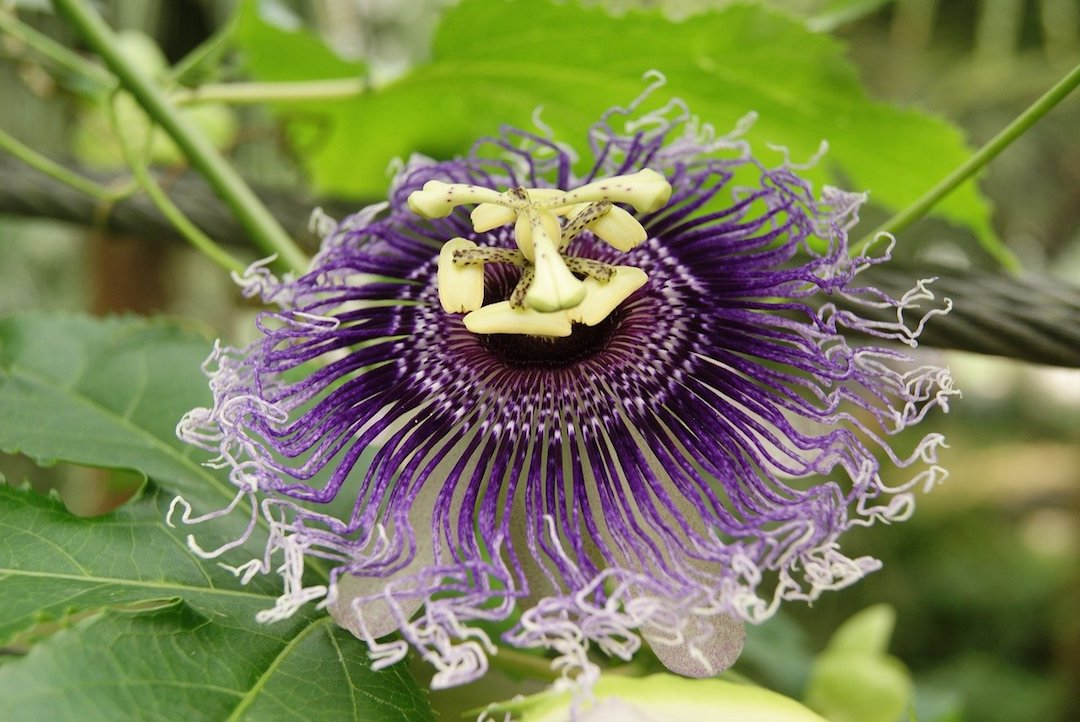 Passion Flower Benefits - There are many benefits and uses of this vining plant with the beautiful exotic looking blossoms. #PassionFlowerBenefits #PassionFlower #PassifloraIncarnata #HerbsForAnxiety #HerbsForStress