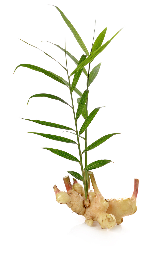 Homegrown Remedies include the Ginger Plant - a delightful herb with medicinal benefits. #GingerMedicinalBenefits #HomegrownRemedies #MedicinalHerbs #BeneficialHerbs #GardensAll.com