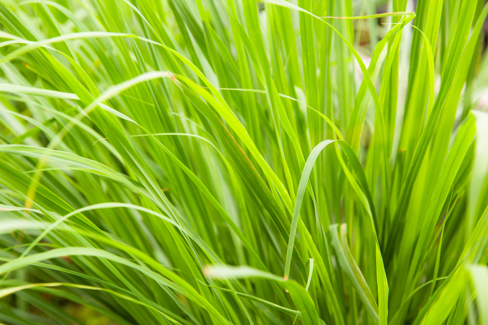 Lemongrass is another herb that is loaded with healing properties.  The spiky, easy-to-grow plant has antibacterial, anti-inflammatory, anti-parasitic, and antifungal properties, making it helpful in treating a plethora of ailments. #HomegrownRemedies #HerbalRemedies #HealingPlants #AntifungalPlants #AntifungalHerbs #AntiparasiticHerbs #AntibacterialHerbs #Anti-inflammatoryHerbs