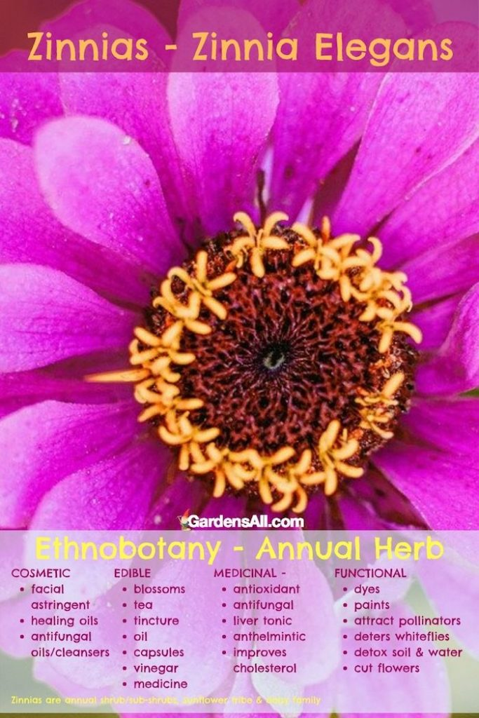 Zinnias have edible, medicinal and cosmetic uses #EdibleFlowers #AreFlowersEdible #Flowers #Rose #Edible #Zinnias #ZinniasFlower