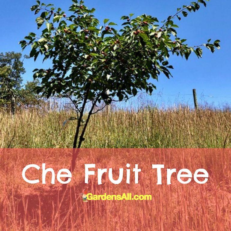 Seedless Che Fruit Tree in fruit. GardensAll.com #CheFruit #EasyToGrow #UnusualFruitTrees #EasyGrowingFruitTrees #CheFruitTree #FallFruits