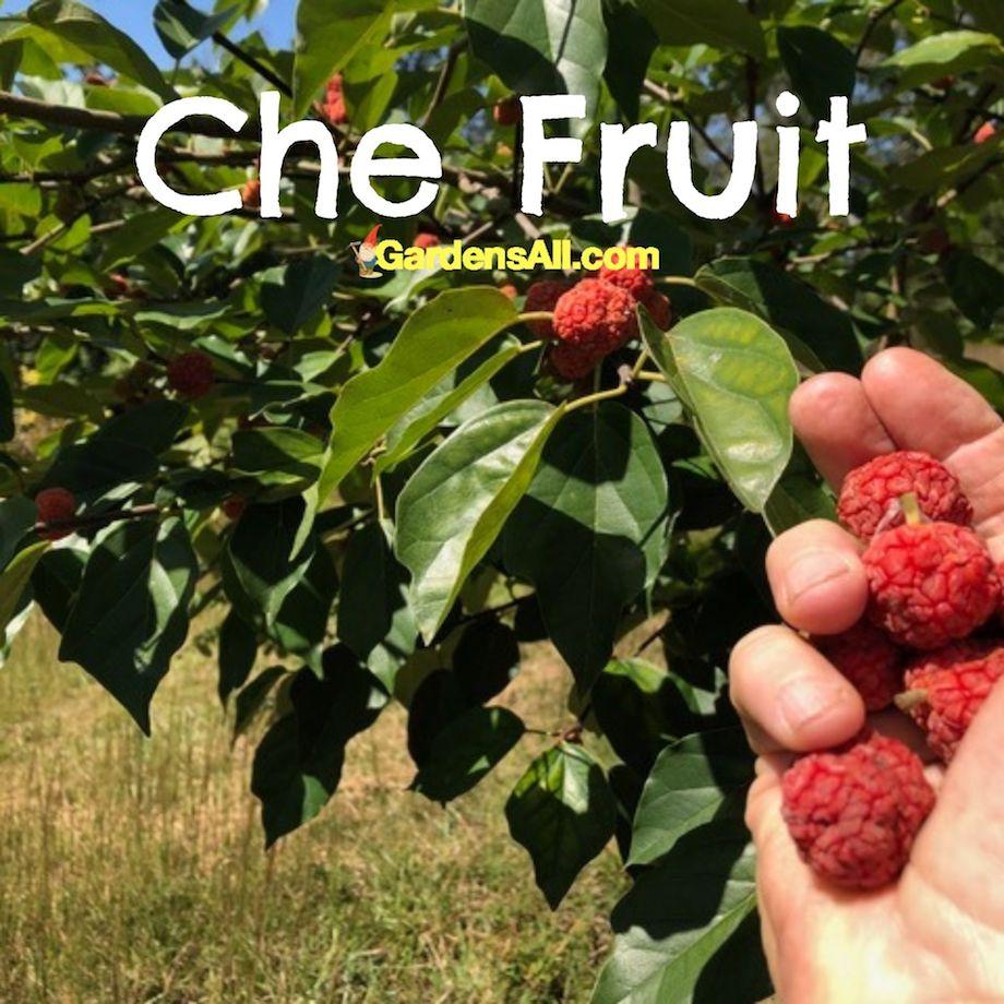 Seedless Che Fruit Tree and Fruit, GardensAll.com #CheFruit #EasyToGrow #UnusualFruitTrees #EasyGrowingFruitTrees #CheFruitTree