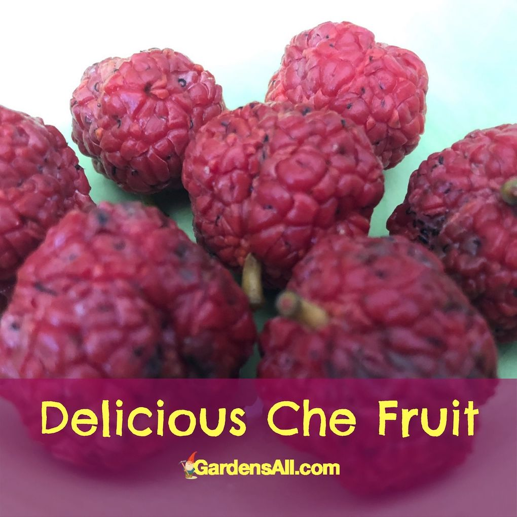 Exotic and Unusual Fruits That Are Easy to Grow - The Delicious Che Fruit #CheFruit #UnusualFruits #ExoticFruits #EasyToGrowFruits #GardensAll