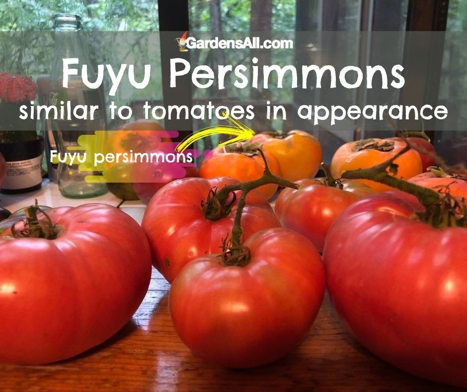 FUYU PERSIMMON FRUIT APPEARANCE - Similar to tomatoes in shape and size.#FuyuPersimmons #FuyuPersimmonAppearance #GardensAll.com