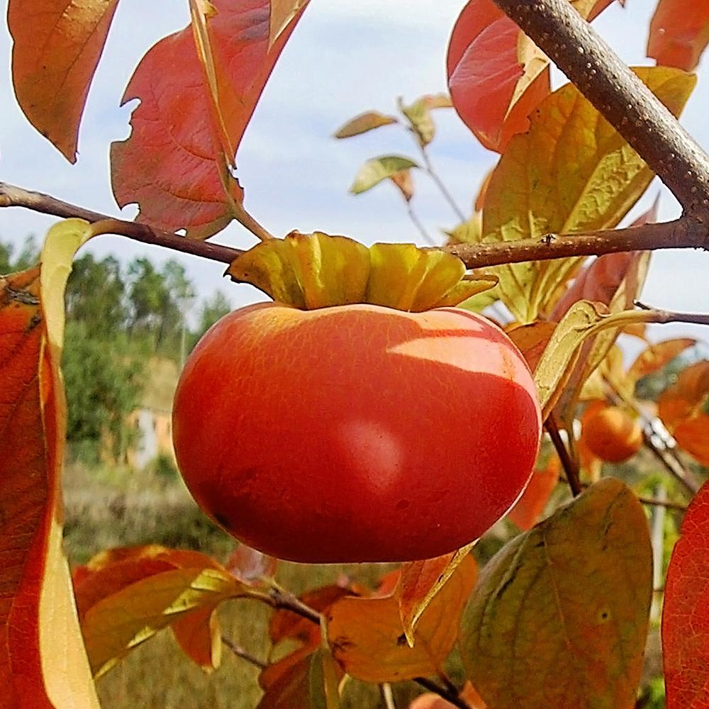 FALL FRUITS - FUYU PERSIMMONS grow in zones 7-10 and ripen in Autumn, September-November, and the leaves turn lovely fall colors of red and orange. #FallFruits #FuyuPersimmons #OrnamentalFruitTrees #SweetPersimmons #GardensAll #FuyuPersimmonFruit #AutumnFruits