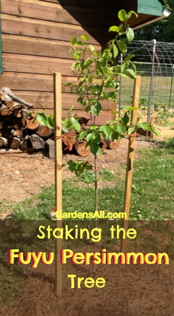 YOUNG FUYU PERSIMMON TREES need to be staked for support. #FuyuPersimmonTree #FuyuPersimmons #GardensAll.com #FallFruitTrees #StakingFruitTrees #StakingFuyuTrees
