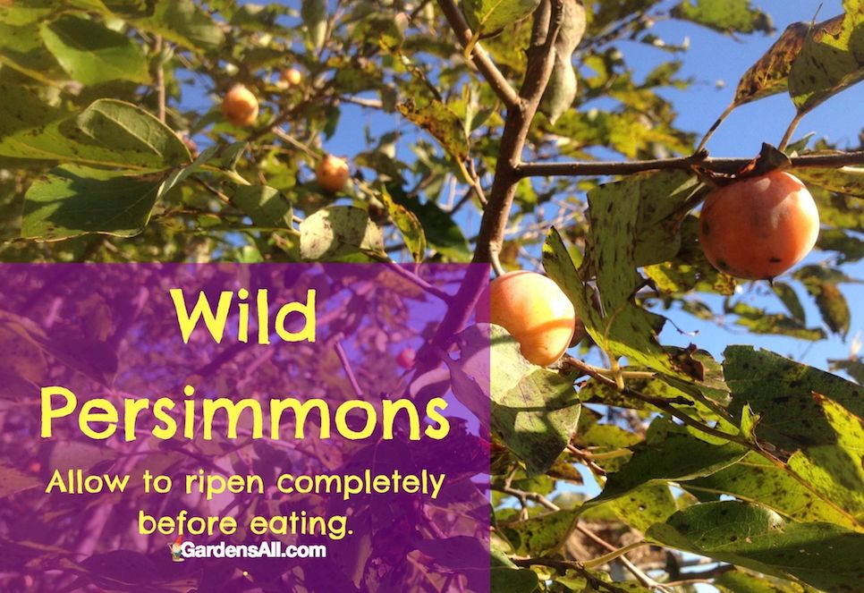 WILD AMERICAN PERSIMMONS - Persimmons are eaten fresh, dried, or cooked. You can slice them like apples or dice them like dates. Dried persimmons can be added to cereals, bread, cookies, and basically whatever recipes call for raisins or dates. #WildPersimmons #AmericanPersimmons #GardensAll