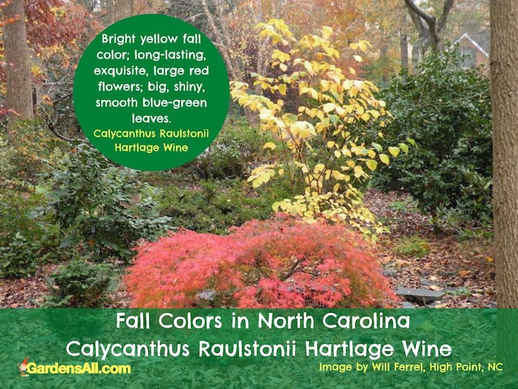 Fall Colors in NC - Calycanthus raulstonii Hartlage Wine - image by Will Ferrell, Triad, NC #FallColorsInNorthCarolina #FallColorsNC #AutumnImages #GardensAll