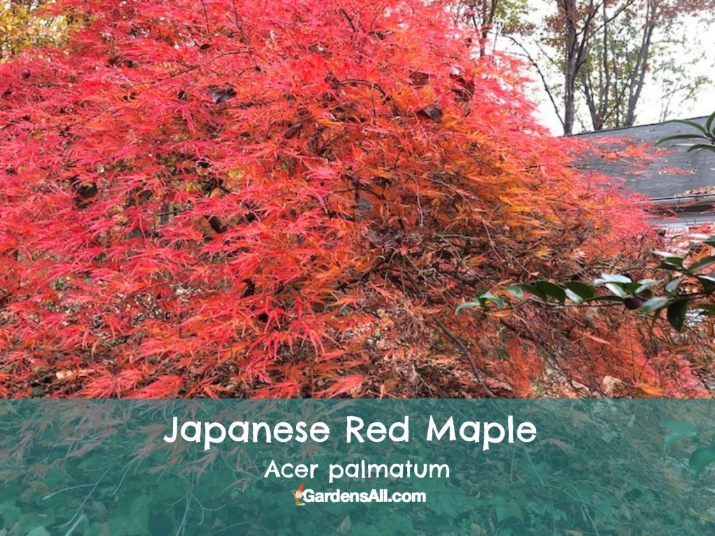 Fall Colors in NC - Japanese Red Maple close up - mid November 2020 - image by GardensAll.com #FallColorsInNorthCarolina #FallColorsNC #AutumnImages #GardensAll
