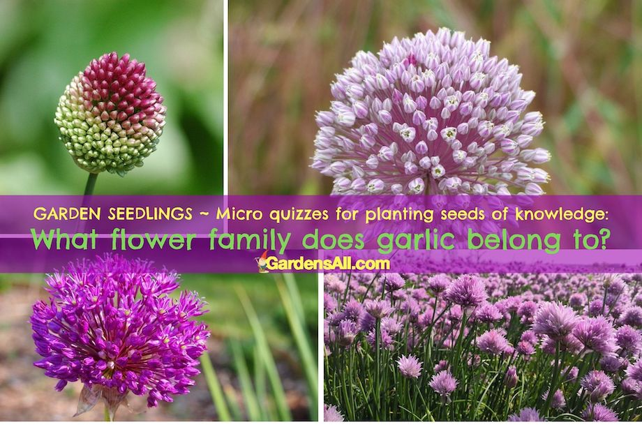 GARDEN SEEDLINGS - MICRO QUIZZES FOR PLANTING SEEDS OF KNOWLEDGE: What flower family does garlic belong to? #GardenTrivia #GardenQuiz #GarlicFamily #GarlicFlower #GrowingGarlic #GardensAll #GarlicVarieties