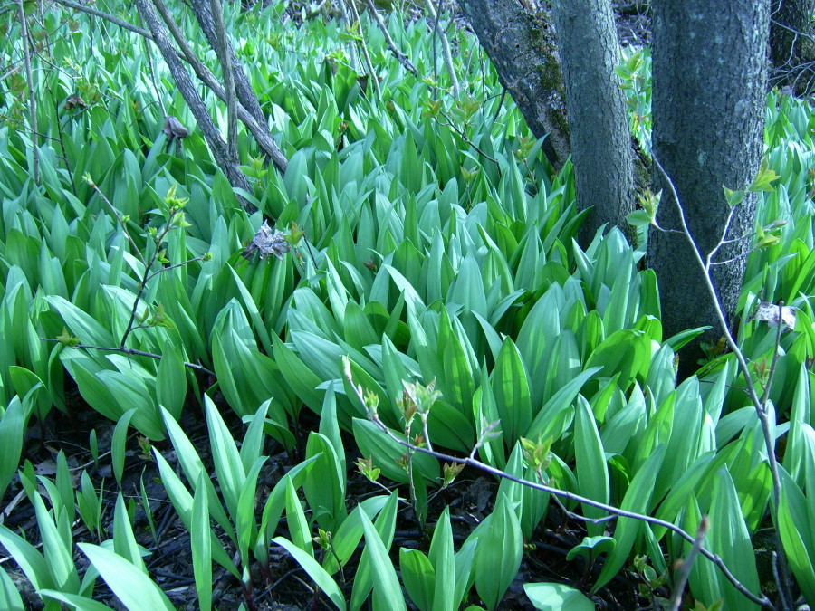 Ramps plants, AKA Wild Leeks in the woods. Image by Fungus Guy from Creative Commons