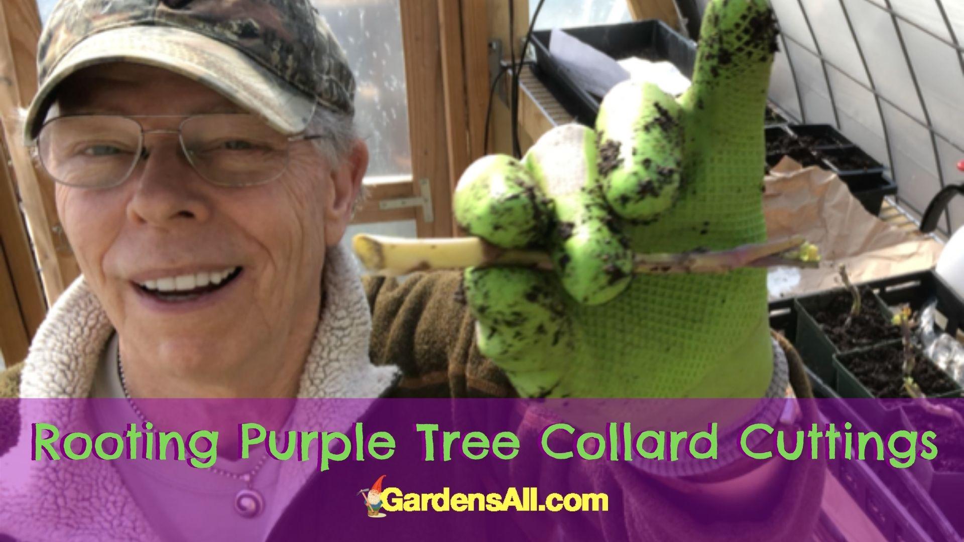 Coleman Alderson-Rooting Purple Tree Collards Cutting-image by GardensAll.com