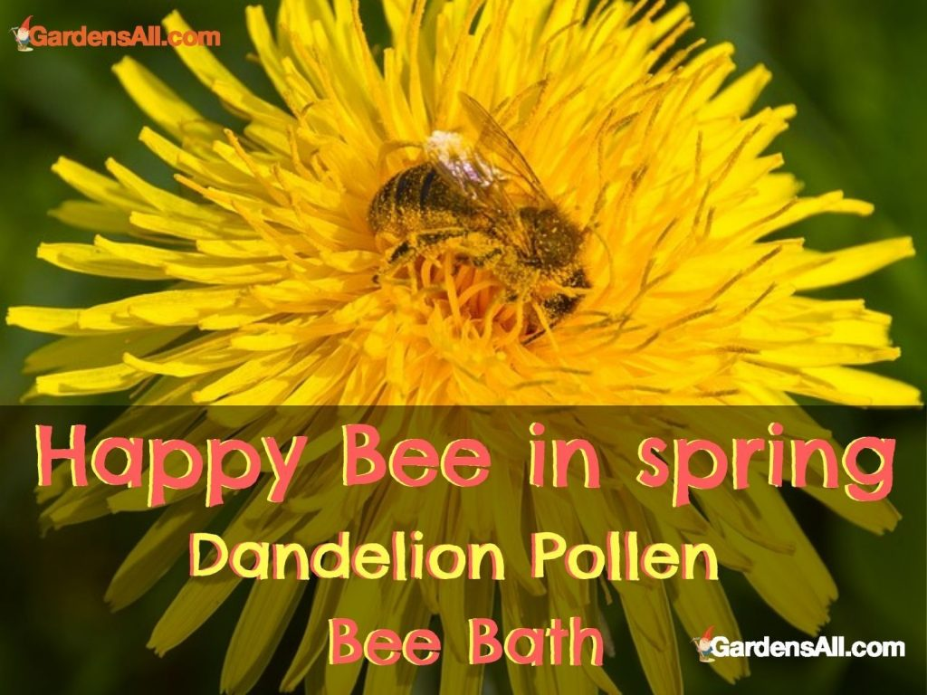 Pollen bee bath - Happy bee in spring. There are flowers that produce both pollen and nectar, such as dandelions. #Dandelionflowers #BeeFood #FlowersForBees #PollinatorFlowersForBees #GardensAll
