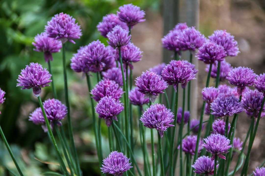 Growing Chives Herbs with purple flowers.