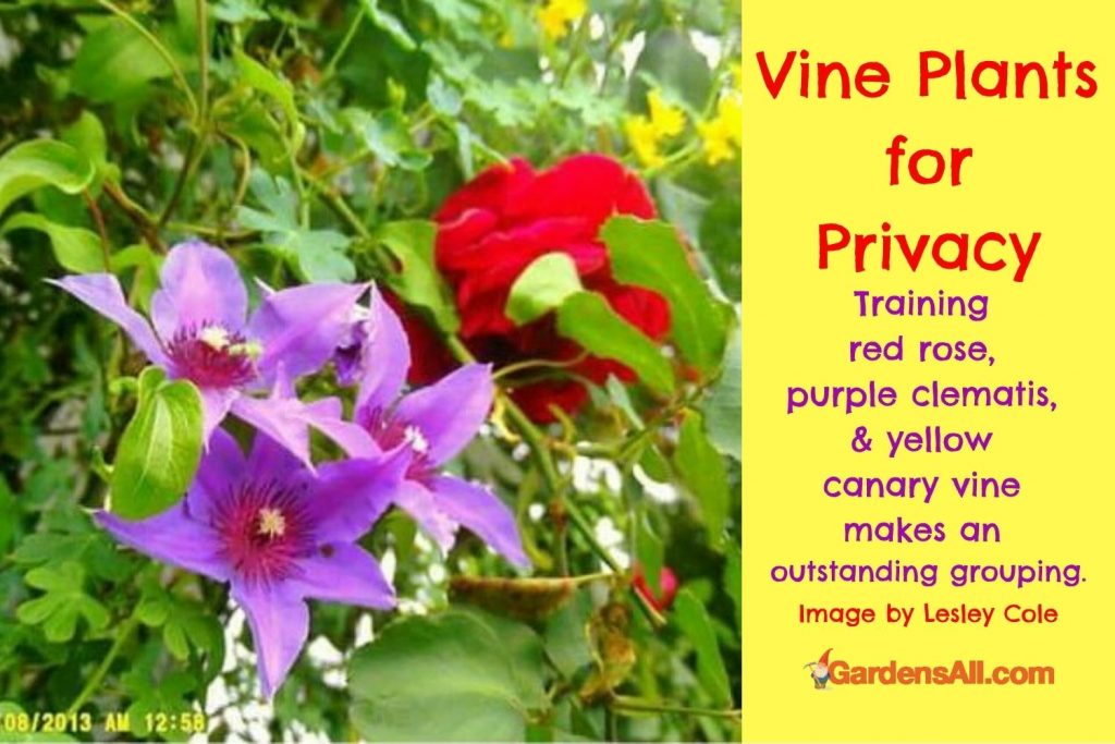 Flowering Vines for Privacy-rose-clematis-canary-Image by Lesley Cole via GardensAll.com