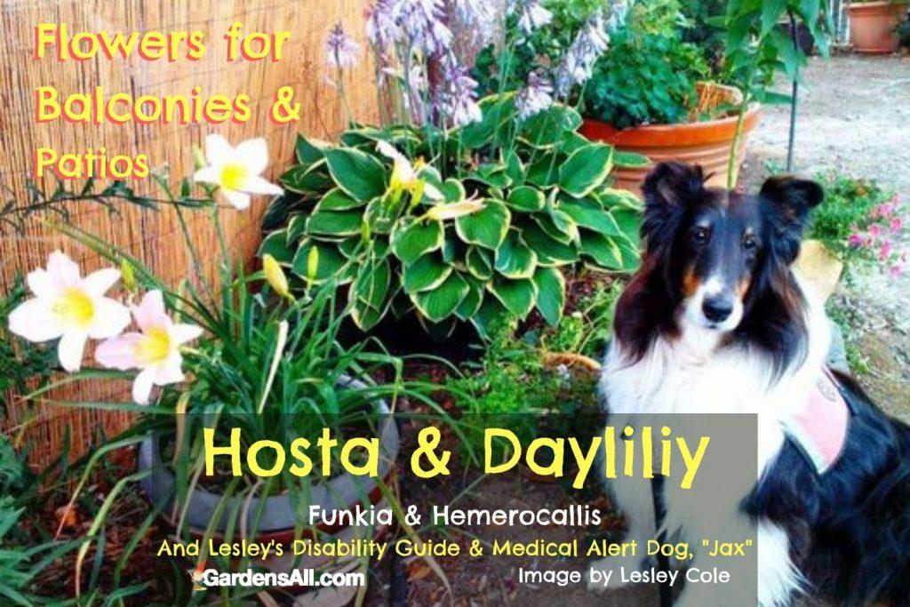 Hosta Daylily shepherd-Jax - image by Lesley Cole via GardensAll.com
