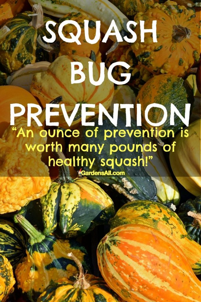 Squash Bug Prevention. How to prevent squash bugs from attacking your squash, pumpkins, gourdes, melons and cucumber naturally. GardensAll.com