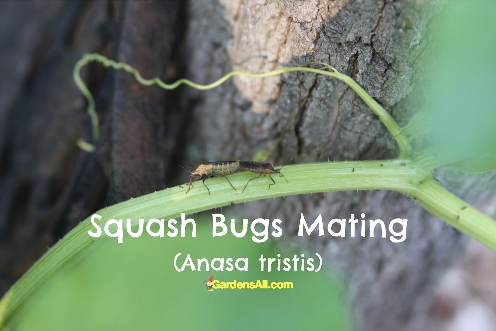 What do Squash bugs look like? Squash bugs mating, image by GardensAll.com #SquashBugs #SquashBugsMating #GardensAll