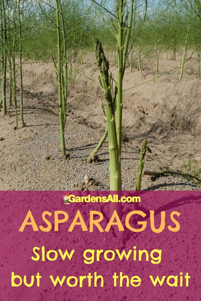 GROWING ASPARAGUS it takes time but is worth the wait! #GrowingAsparagus #PlantingAsparagus #GardensAll #GrowAsparagus #Asparagus #AsparagusRecipes