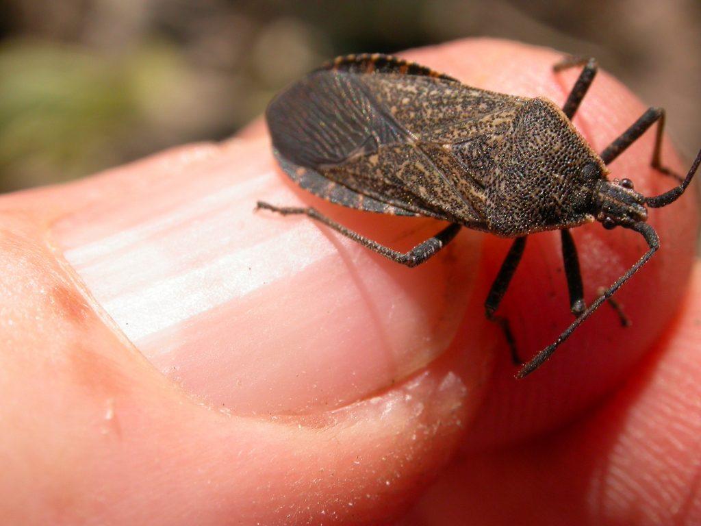 adult squash bug image; brown speckled garden bug on squash